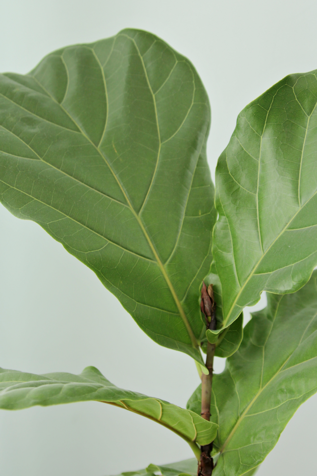 How To Keep A Fiddle Leaf Fig Alive Hy Decor Fix