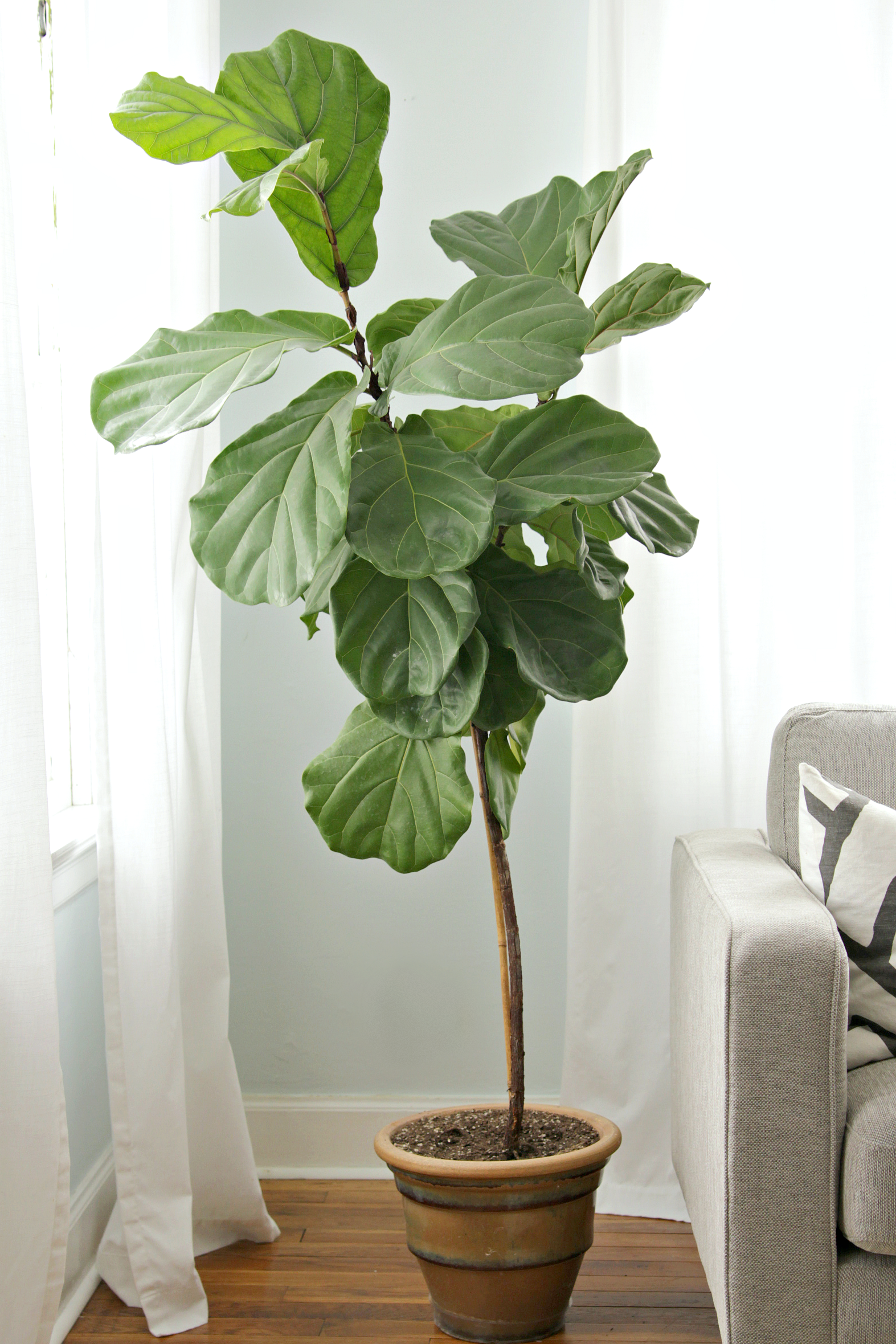 How to keep a fiddle leaf fig alive and happy for Ficus planta interior