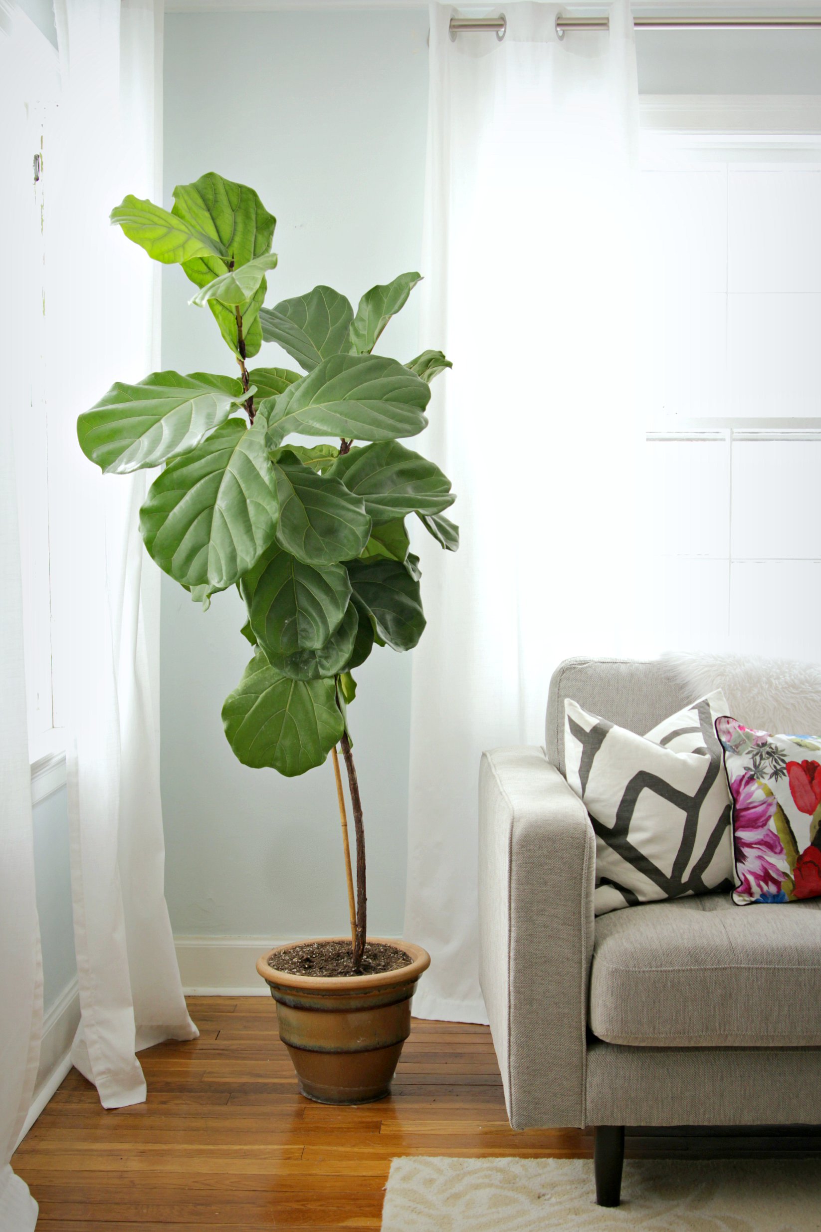 how to train a fig tree