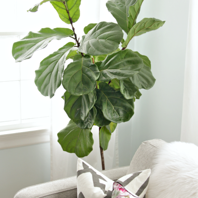 How to Keep a Fiddle Leaf Fig Alive (and Happy)