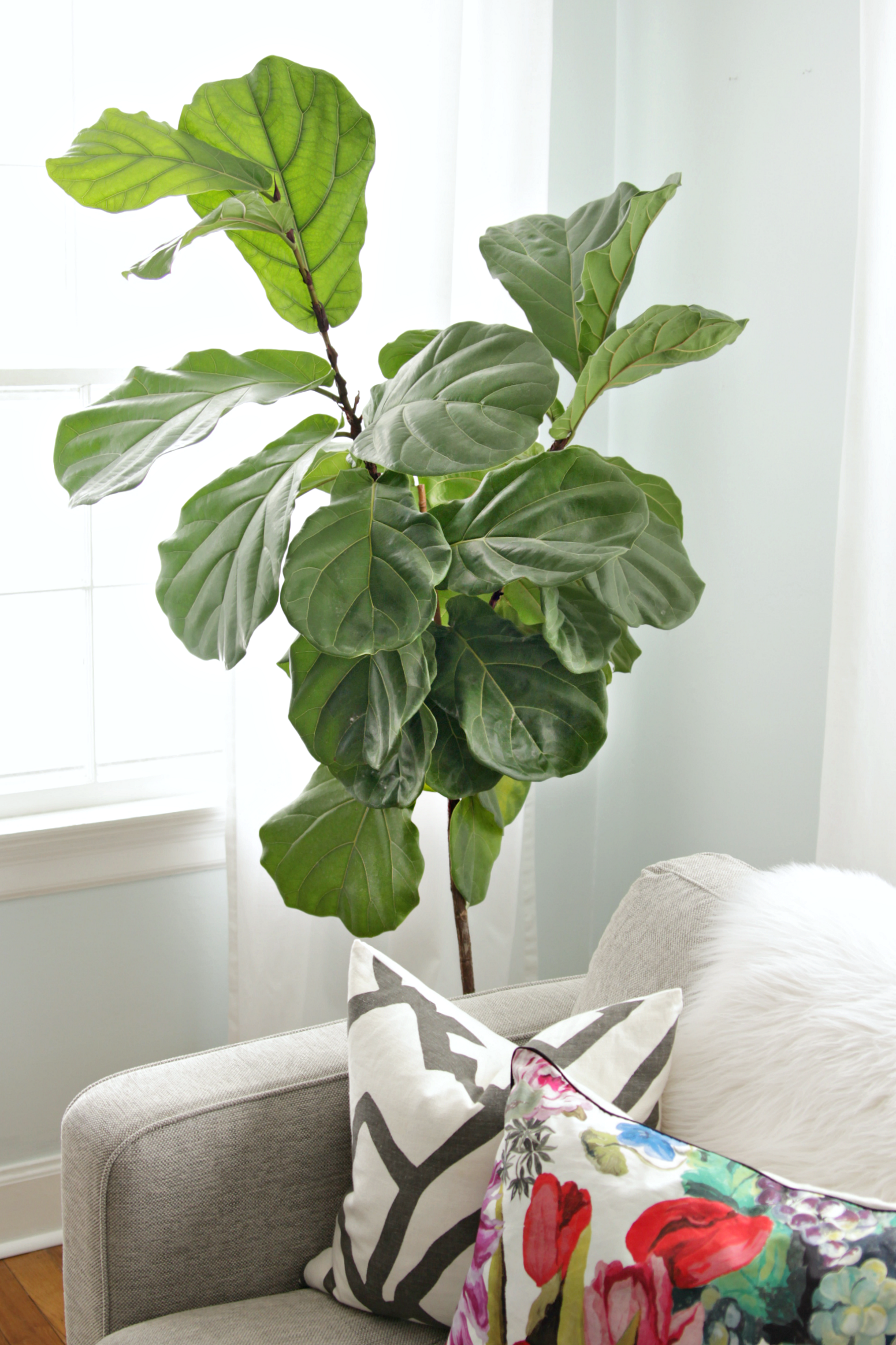 Bedroom Design Tool How To Keep A Fiddle Leaf Fig Alive And Happy